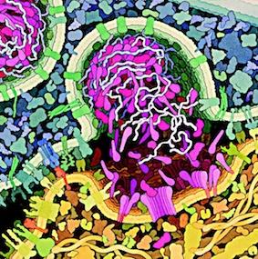 Una célula T citotóxica © David S. Goodsell 1999